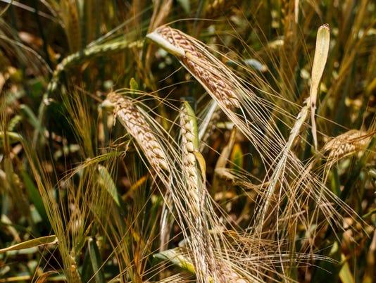 635983986215109645-Wheat-Field.jpg