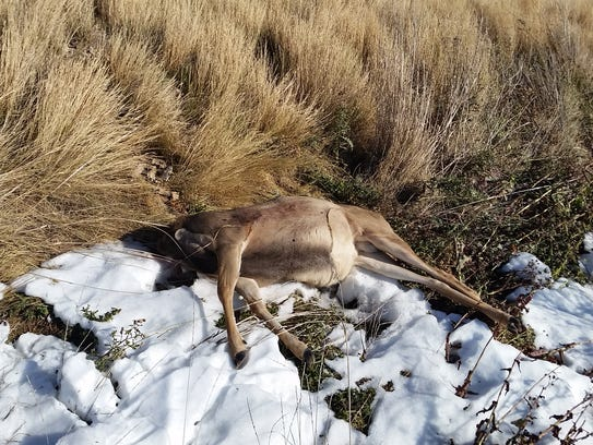 This mule deer was found dumped two miles west of Conrad.