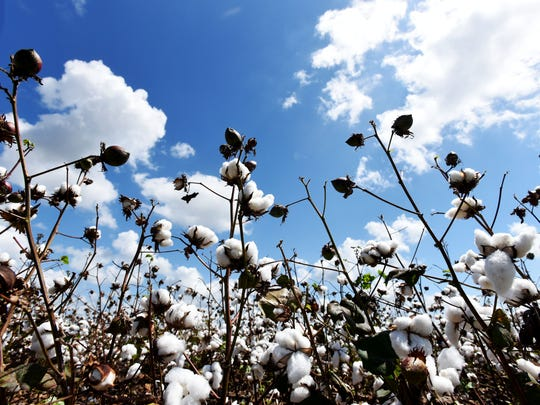 Those cotton fields back home are ready to pick  during