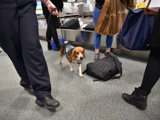Waldo, an agriculture customs K9 officer at Newark Airport, sniffs passengers bags looking for contraband items on Wednesday, November 9.