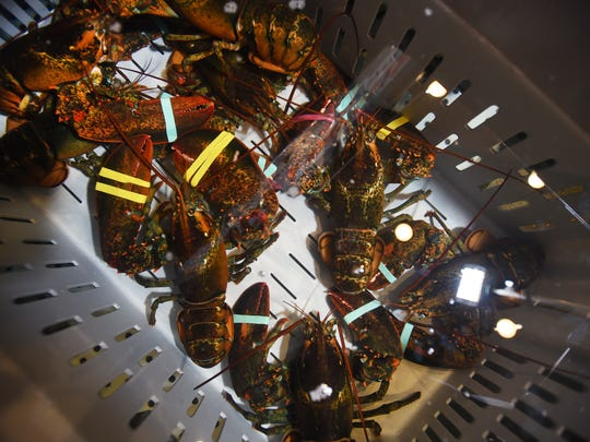 From Jack's crate to your plate: live lobsters.