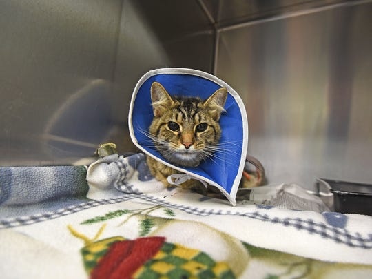 A cat that was tortured with a firecracker wears a protective collar Tuesday morning after being treated for injuries.
