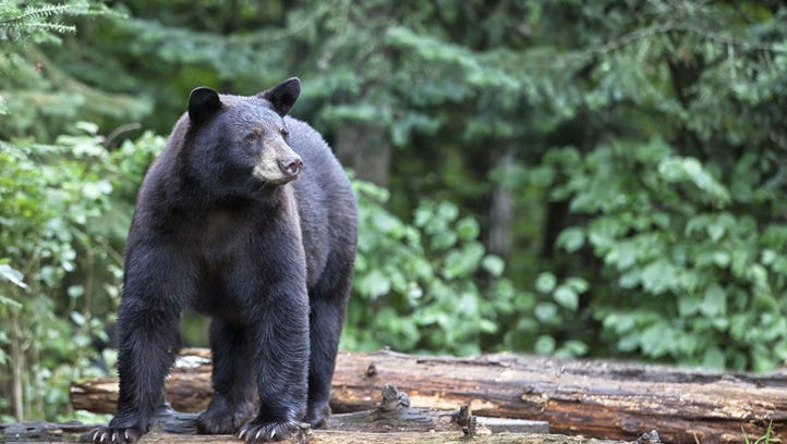 Spotted: Southern Indiana black bear springs into action