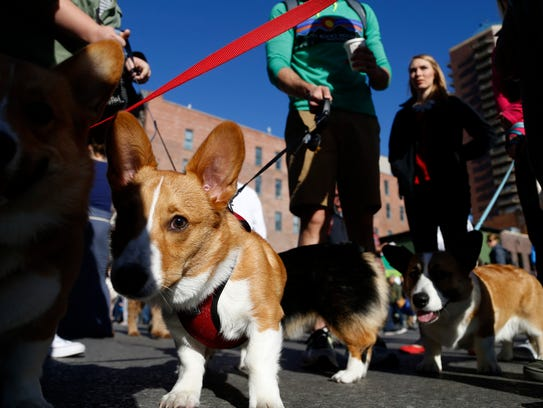 Fitz (left) congregates with other Corgis Saturday,