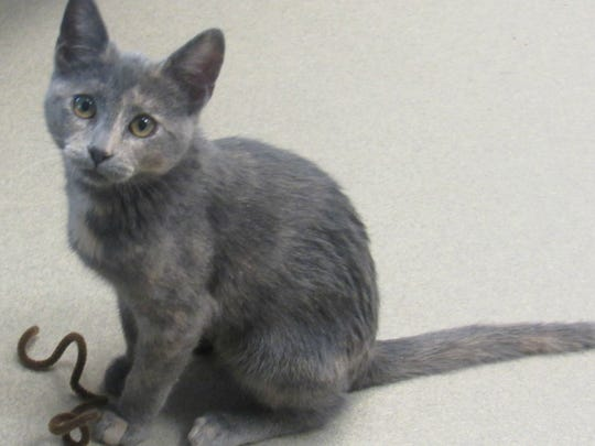 Kiss is a dilute tortoiseshell female kitten about