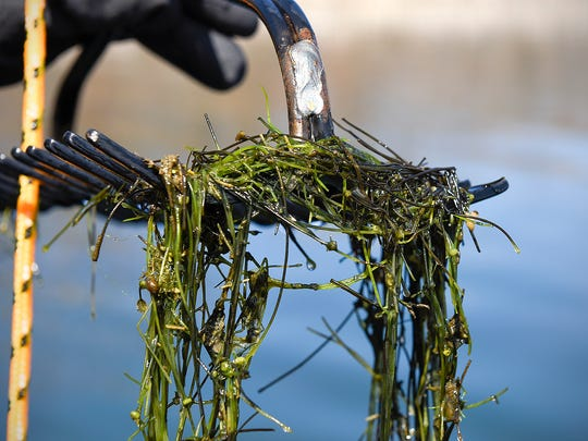 Chris Jurek, DNR aquatic invasive species specialist, uses a double-sided rake on a rope to collect samples of starry stonewort April 4 on Lake Koronis near Paynesville.