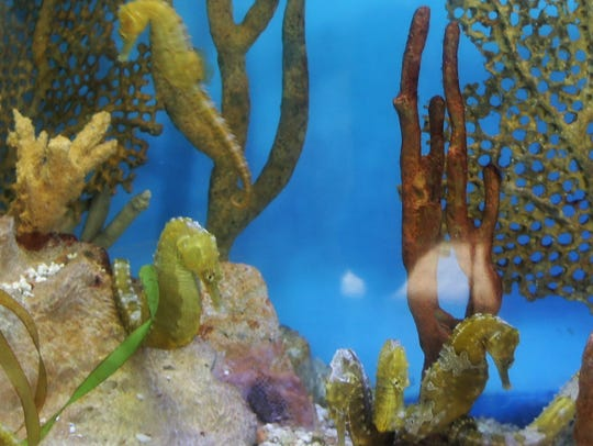 Don't miss the seahorses at the Mote Marine Laboratory