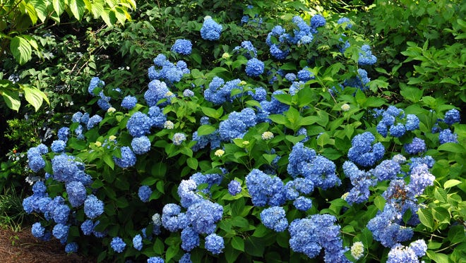The classic blue hydrangea, but new forms are bred to be rebloomers and disease resistance.