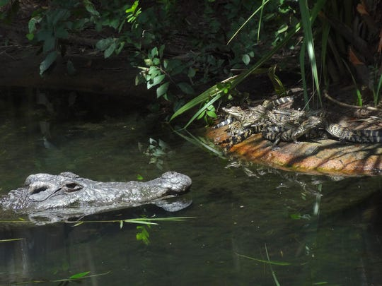 Siamese Crocodile hatchlings are with their foster dad, a Siamese crocodile.
