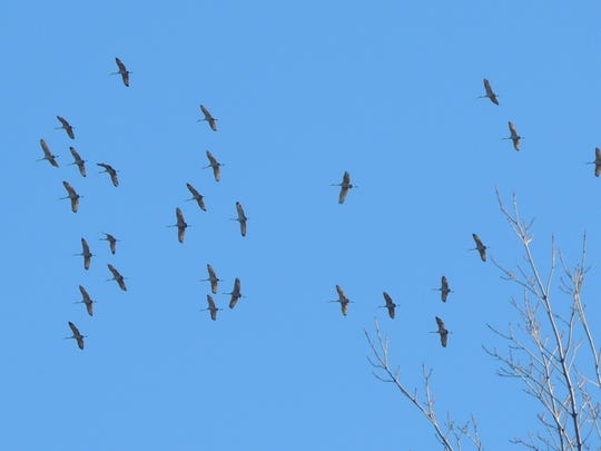 Sandhill cranes rise on thermals under a blue December sky.