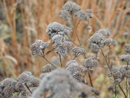 Mountain mint provides beauty and fragrance even during winter, much like wild bergamot and other native mints.