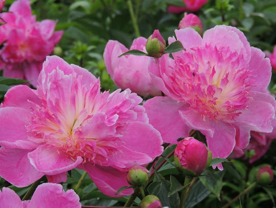 The American Peony Society is bringing its annual convention