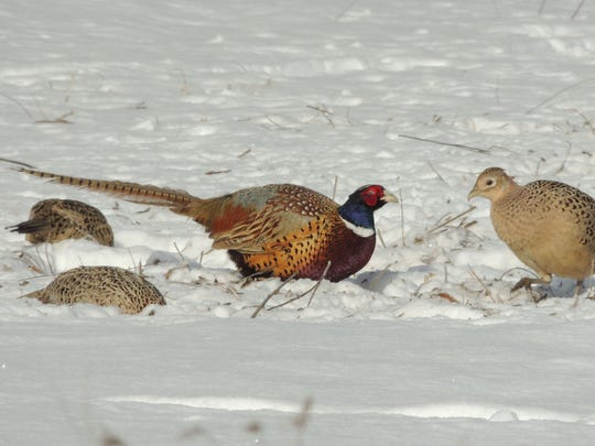 A group of ring-necked pheasants scratches through deep snows to feed on waste corn near Navarino.