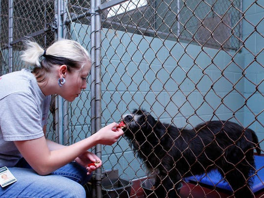 Coshocton County Animal Shelter volunteer Courtney Timmons gives a biscuit to one of the many four-legged residents while working at the shelter. This dog is avaialbe for adoption.