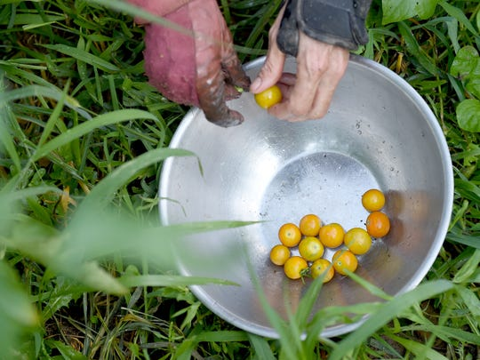 Francie Delaney gathers cherry tomatoes at the Horn Farm in Hellam on Saturday, August 6, 2016. The York city resident is farming to donate to plant2share, a program that asks individuals and organizations to plant extra to donate to those in need. Once donated, the plan is to do a weekend of turning the tomatoes into sauce before sending them out to food pantries.