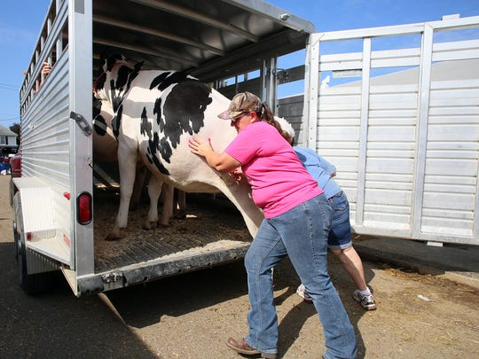 Ro Yoder, of Clark, gives a dairy cow some encouragement to get onto a trailer Thursday as the Coshocton County Fair comes to an end.