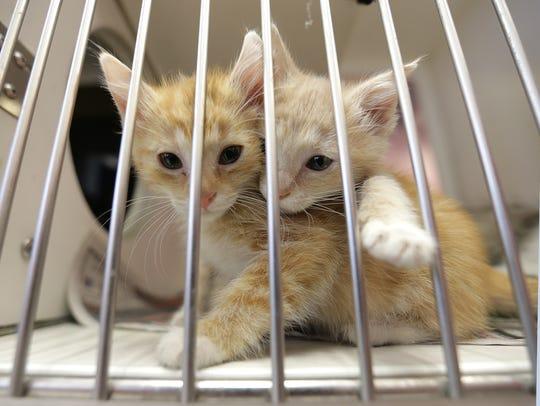 Kittens await adoption at Animal Services of El Paso.