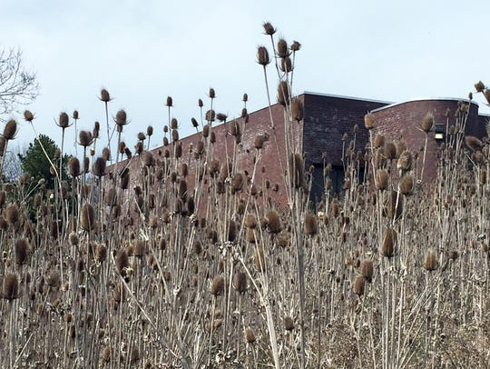 Fields of teasel, a non-native invasive plant, have