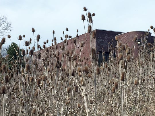 Fields of teasel, a non-native invasive plant, have taken over open hillsides on the east bank of the Kinnickinnic River at Pulaski Park. Teasel and buckthorn, an invasive shrub that is spreading through park woods, will be removed this year as part of an $8.6 million flood control project.