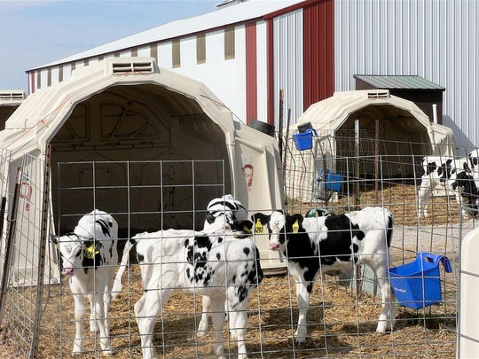 "Herd manager Katy Schultz, uses multiple calf housing, four calves per hutch. ""Calves are social animals,"" she says."