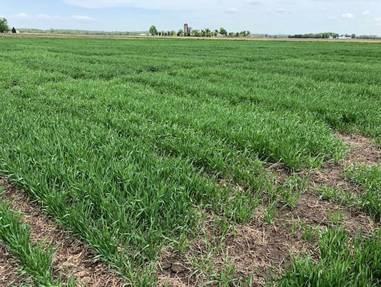WSF 0525 winter wheat trials