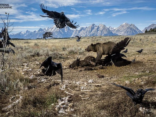 A grizzly fends off ravens from a bison carcass in Grand Teton National Park.