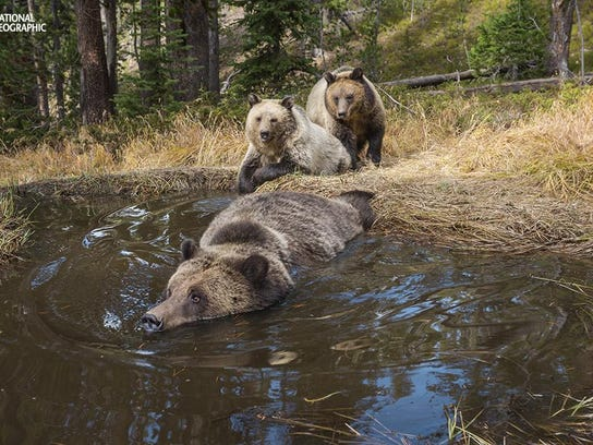 "Yellowstone National Park WY. Bear ""Bathtub"" spring where Grizzly, Ursus horribilis and Black Bear,Ursus americanus, frequent."