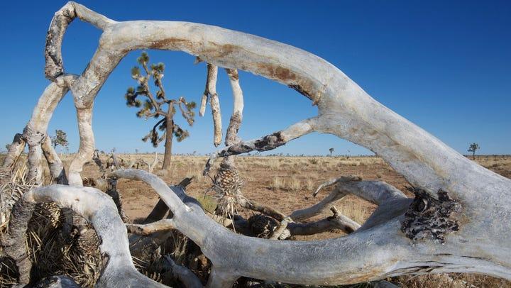Joshua trees losing ground