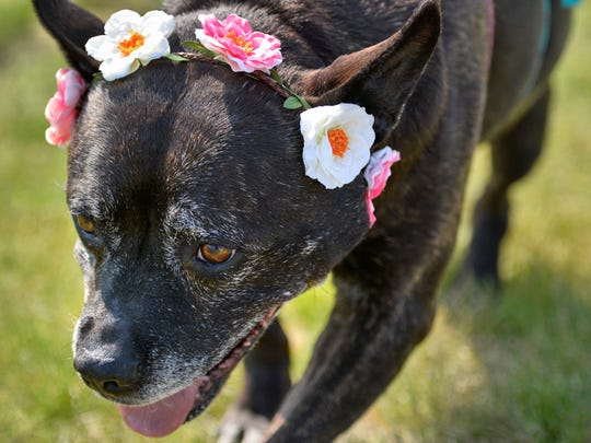 Karlee, a 9-year-old pit bull mix, donned flowers and a tutu to walk in Saturday's Bark for Life to raise money to fight cancer. Karlee is a rescue dog from Gray Face Rescue and Retirement.
