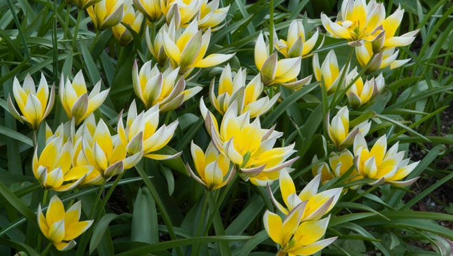 This April 20, 2010 photo provided by Colorblends shows a collection of Tulipa tarda, a stellar repeat bloomer when planted in full sun and well-drained soil, in Atlantic Beach, New York.  The tarda variety grows about five inches high and blooms in mid-spring through USDA Zones 3-7. It is native to the Tien Shan Mountains bordering Kazakhstan, Kyrgyzstan and China. (AP Photo/Colorblends)