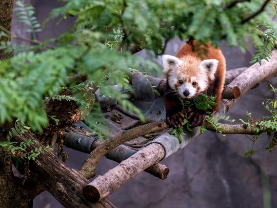 061813 rusty the red panda