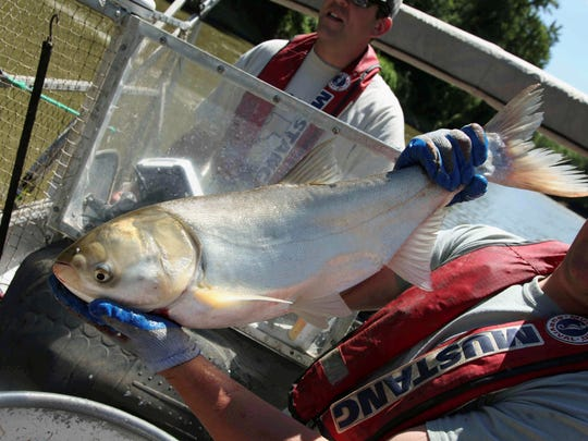 asian singles in great river Asian carp caught in grand river  authorities say a single,  the fish are considered highly invasive and one of the biggest threats to the great lakes.