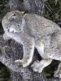 The court wants the U.S. Fish and Wildlife Service to reconsider extending protected status to lynx habitat in the southern Rocky Mountains of New Mexico.
