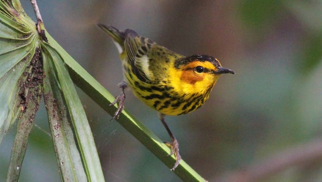 The Cape May warbler is one of several birds that leave our area for Canada around the beginning of May.