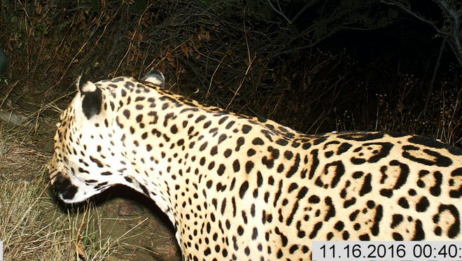 This Nov, 16, 2016, photo provided by the U.S. Fish and Wildlife Service shows a Jaguar photographed by a motion-detection cameras in the Dos Cabezas Mountains in southern Arizona.