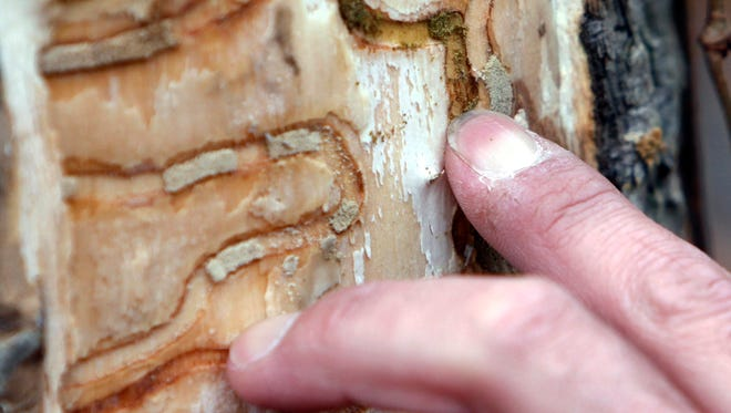 The markings left from emerald ash borer larvae on an ash tree are pointed out in Saugerties, N.Y. The emerald ash borer, first found in 2002 in Michigan, is now in 30 states and has killed hundreds of millions of ash trees. Forests from New England to the West Coast are jeopardized by invasive pests that defoliate and kill trees. Scientists said the pests are driving some tree species toward extinction and causing billions of dollars a year in damage.