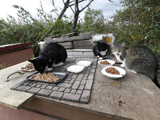 In this Tuesday, Oct. 25, 2016 photo, a colony of feral cats chow down on food delivered by good samaritan animal-lovers in the Oakwood Beach neighborhood of Staten Island, in New York, nearly four years after Superstorm Sandy ravaged the area with deadly floodwaters. Oakwood Beach, improbably built on a salt marsh, is slowly being returned to nature after state officials concluded it would be foolish to rebuild in a place with so little protection from the sea. Under a state buyout program, 196 homes have been demolished so far. Another 103 will soon meet the same fate. The cats had formerly been fed by occupants of the house across the street, but since that house was razed under a government program to clear the neighborhood of it's occupants, friendly neighbors and good samaritans feed the cats. (AP Photo/Kathy Willens)