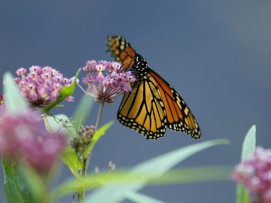 Monarch butterfly, swamp milkweed