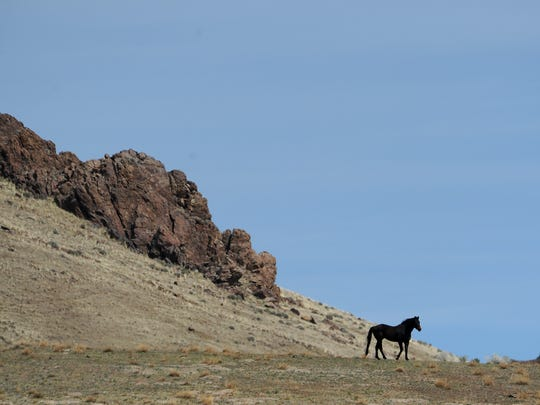 A domestic tribal horse is seen grazing illegally in the Santa Rosa Mountains near the Fort McDermitt Paiute Shoshone Reservation in Northern Nevada on March 30, 2015.