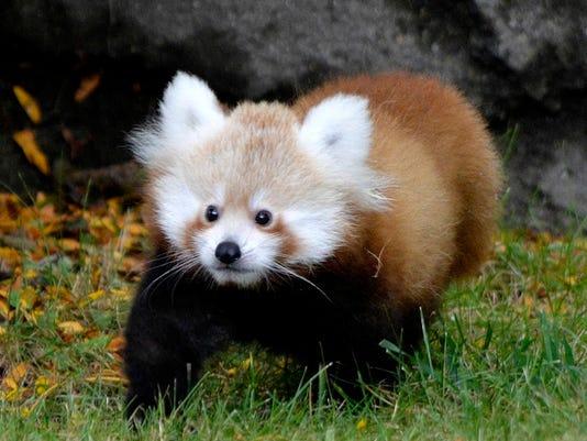 635786063852286700-red-panda-baby1