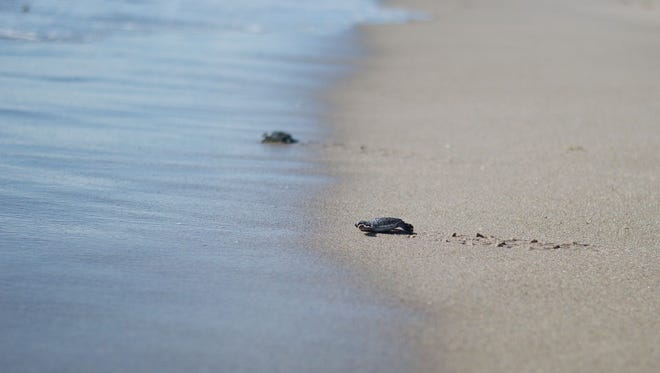 Sea turtle hatchlings make for the water line in this file photo.