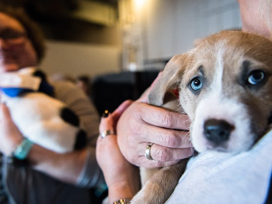 A volunteer with Brother Wolf Animal Rescue holds one of the puppies available for adoption at the third annual Puppy Bowl at Sanctuary Brewing in Hendersonville Sunday, February 4, 2018. The Vegan Bros. based in Los Angeles, California hosted the event.