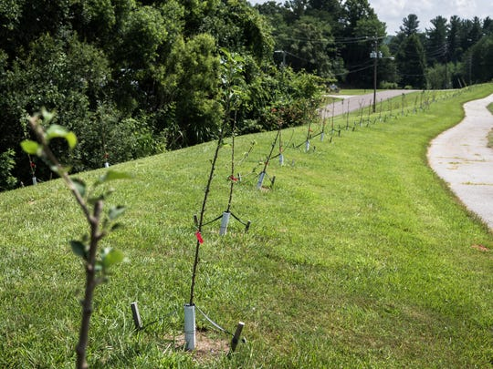 A row of young apple trees at Wicked Weed brewing's headquarters.