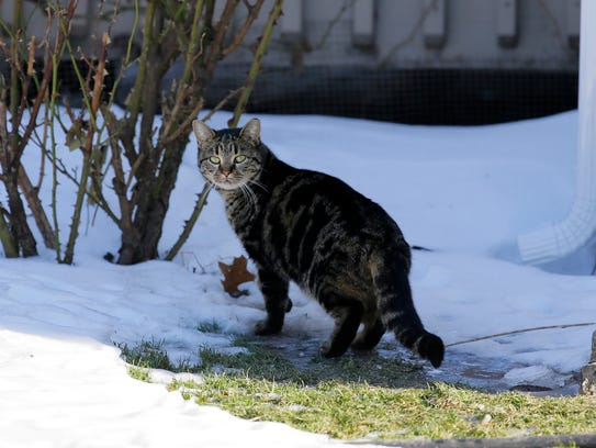 A member of the cat colony walks through the snow behind the Tinton Pines townhouses.