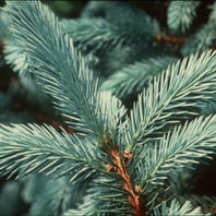 Amazon expected to start selling Michigan Christmas trees