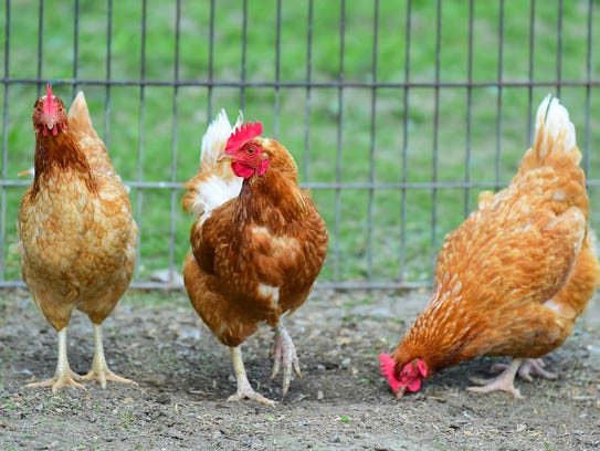 Chickens on the farm of John White in Trumansburg.