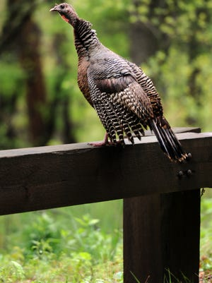 A wild turkey perches on a guard rail along the Blue Ridge Parkway in this file photo.