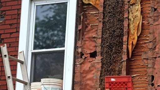 In this Thursday, June 25, 2015 photo, bees infest the wall underneath the siding of a home in Wallkill, N.Y., Thursday, June 25, 2015. Two beekeepers were at work  removing siding on the outside of the house to get to the bees. The Orange County family living there discovered the bees while they were clearing trees.   (Elaine A. Ruxton/Times Herald-Record via AP)