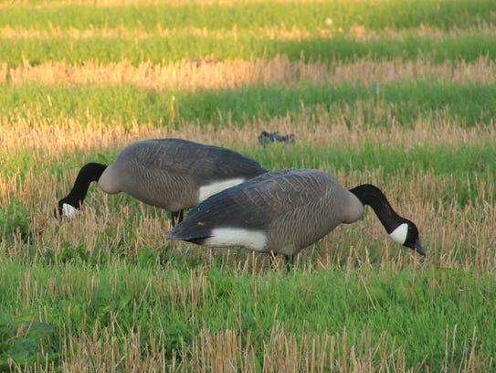 Smith Honkers Aplenty For Start Of Canada Goose Hunting Season