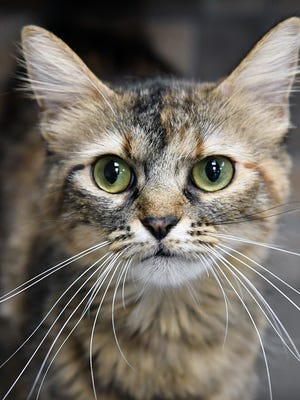 Milee is a spayed, 1-year-old, brown tabby, domestic medium-haired cat. She is sweet, outgoing and is available for adoption at the Wichita Falls Animal Services Center.